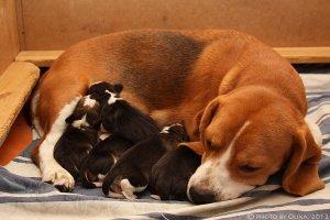 image beagle-puppy-02-jpg